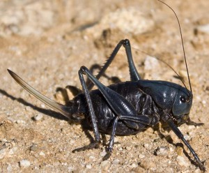 Female Mormon Cricket