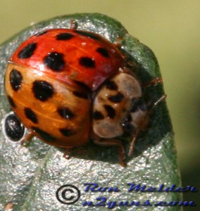 Bicolored Multicolored Asian Lady Beetle