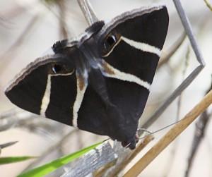 Australian Owlet Moth
