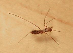 Thread-Legged Bug