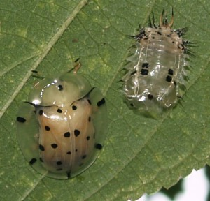 Tortoise Beetle from India