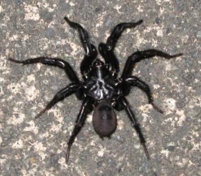 Folding Door Spider - What\'s That Bug?