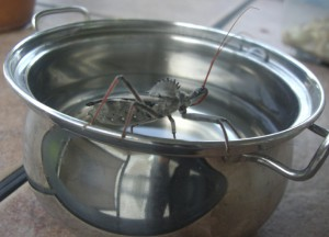 Wheel Bug in a Pot