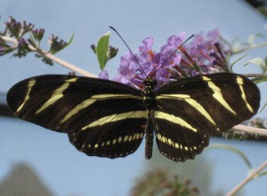 Zebra Longwing: In Pennsylvania?????
