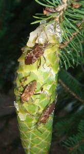 Western Conifer Seed Bugs