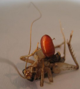 Unknown Cricket Parasite:  Tachinid Fly???