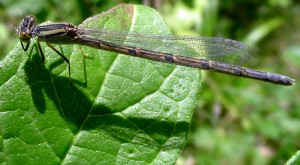 Probably Eastern Forktail Damselfly, female