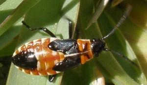 Gutta Bug Nymph