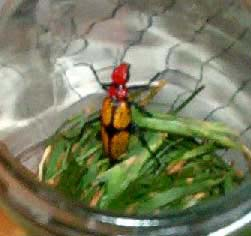 Ironcross Blister Beetle