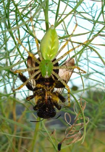 Green Lynx Spider eats Bumble Bee
