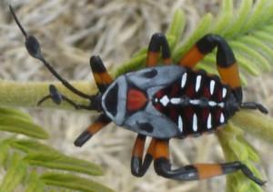 Giant Mesquite Bug from Oaxaca