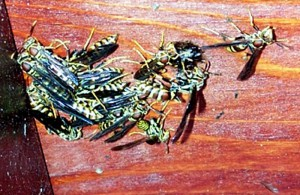 Paper Wasps Nestless