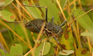 Shield-Back Katydid from Botswana