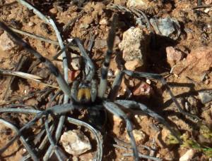 Spider in Arizona