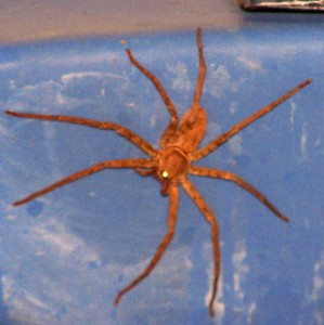 Possible Huntsman Spider from Ecuador