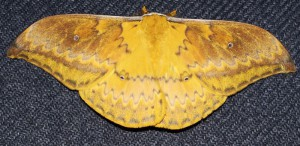 Syntherata janetta from New Guinea