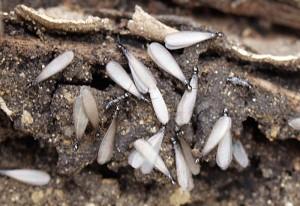 Western Subterranean Termites Swarming