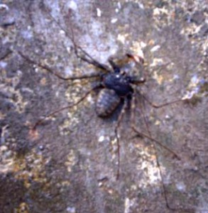 Exterminated Tailless Whipscorpion in Trinidad
