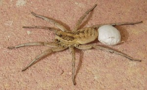 Female Wolf Spider with Egg Sac from Spain