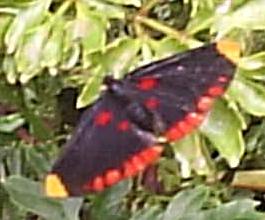 Diurnal Moth