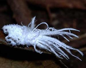 Probably Fulgorid Planthopper Nymph