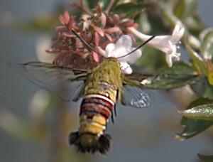 Hummingbird Moth from Japan