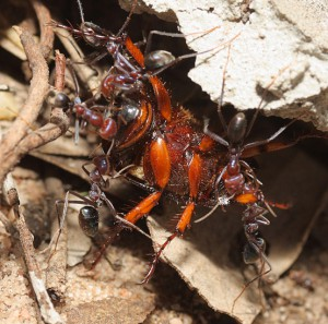 Meat Ants devour Scarab Beetle in Australia