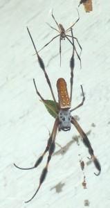 Pair of Golden Silk Spiders