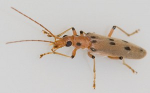 Unknown Soldier Beetle