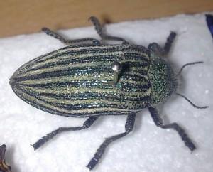 Metallic Borer Beetle