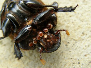 Dung Beetle with Mites:  Parasites or Passengers???