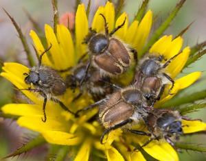 Flower Scarabs