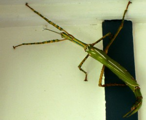 Goliath Stick Insect