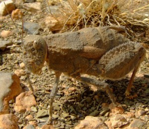 Grasshopper from Namibia