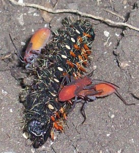 Predatory Hemipterans feed on Saturniid Caterpillar