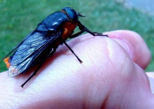 Horse Fly from Patagonia