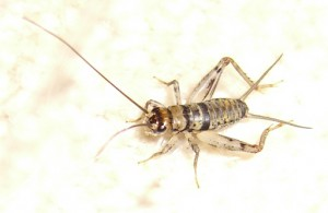 Immature House Cricket