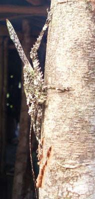 Katydid from French Guyana