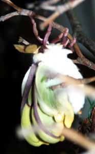 Luna Moth Metamorphosis