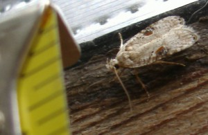 Mediterranean Flour Moth???