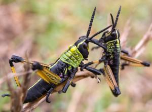 Immature Toxic Milkweed Grasshoppers
