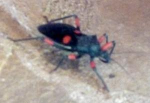 Red Spot Assassin Bug