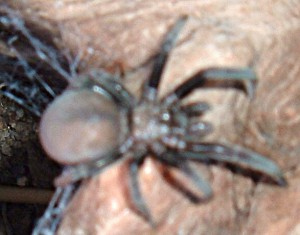 possibly Young Tarantula