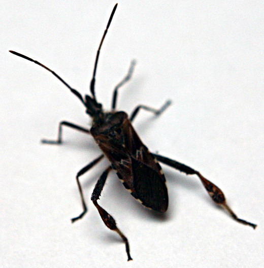 Maryland Biodiversity Project - Sycamore Seed Bug (Belonochilus ...