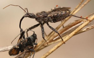 Assassin Bug with prey and Mites