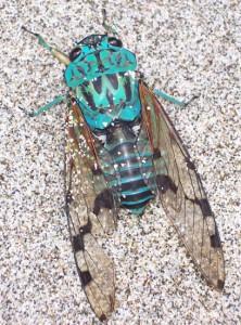 Cicada from Costa Rica