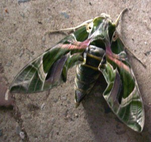 Oleander Hawk Moth