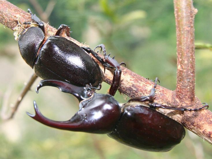 firefly larva and courting rhinoceros beetles from sumatra