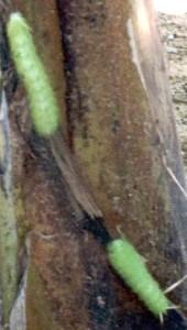 Unknown Stinging Caterpillars