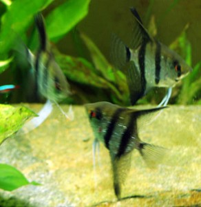 Three Angelfish Sparring